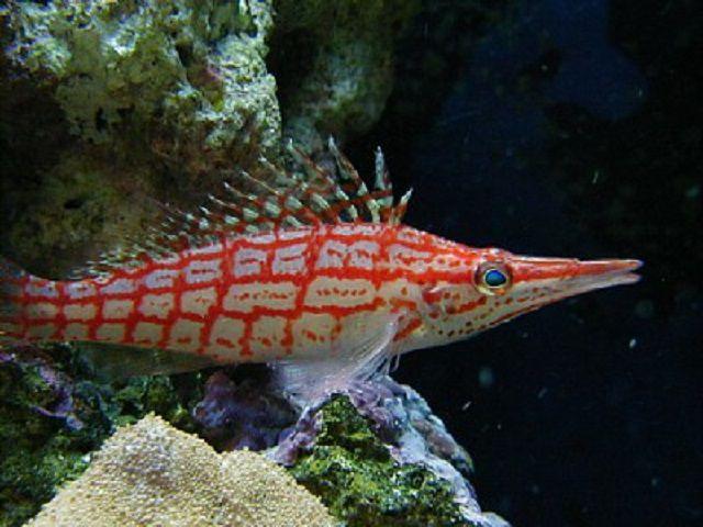 Longnose Hawkfish (Oxycirrhites typus)