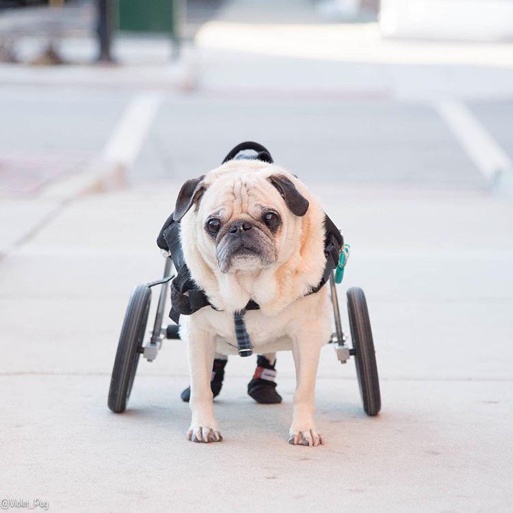 A pug with a wheelchair on the street.