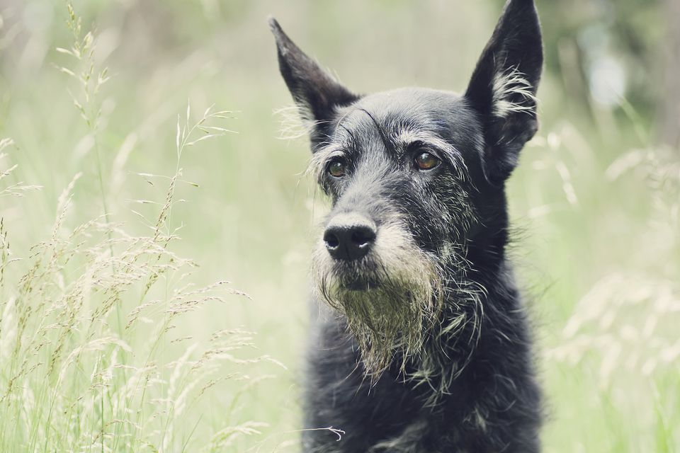 senior dog in a field