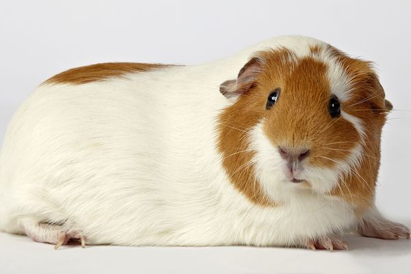 White and red guinea pig on white background