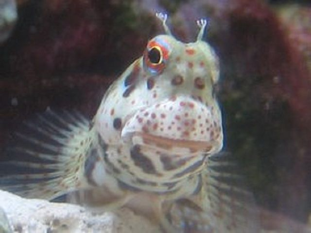 Blenny moteado rojo (Blenniella chrysospilos)