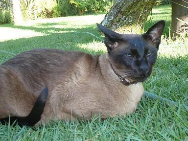 Photo of Siamese cat Levi