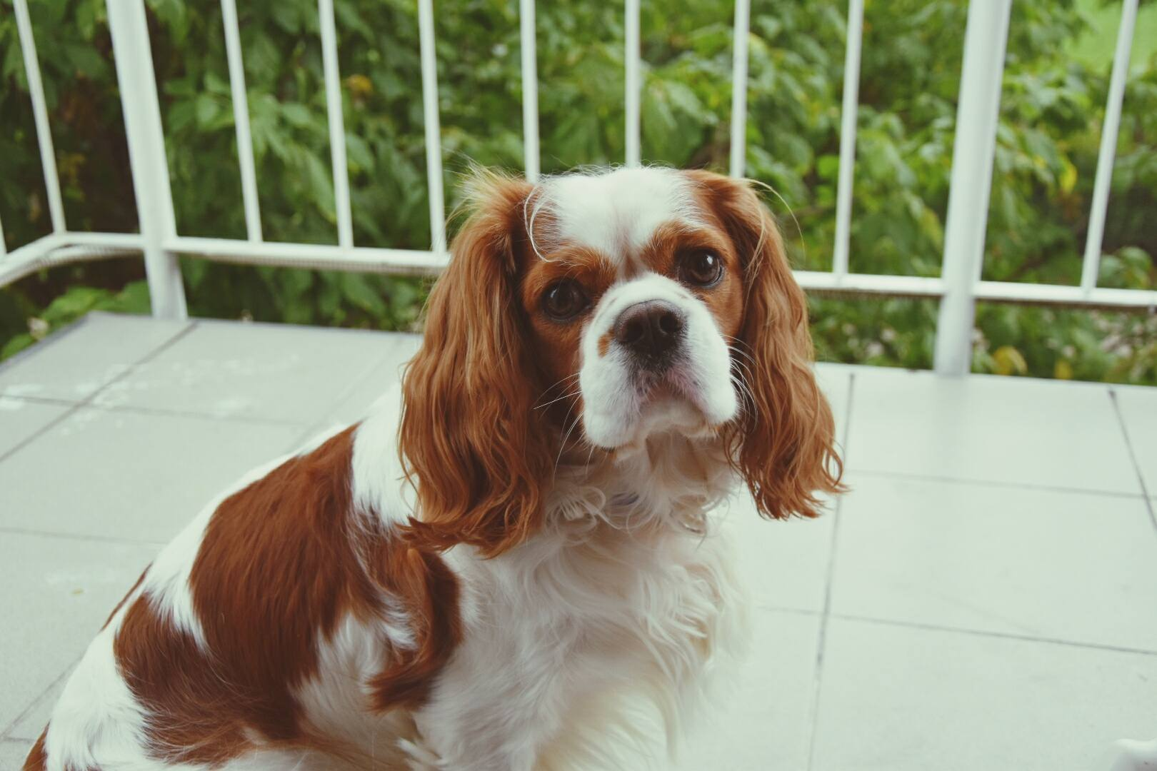 Cavalier King Charles Spaniel Dogs For Apartments