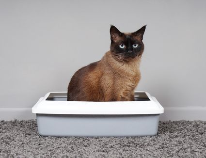 Cat sitting in a litterbox