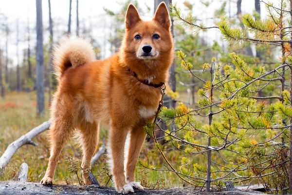 Finnish Spitz standing on a log in the forest