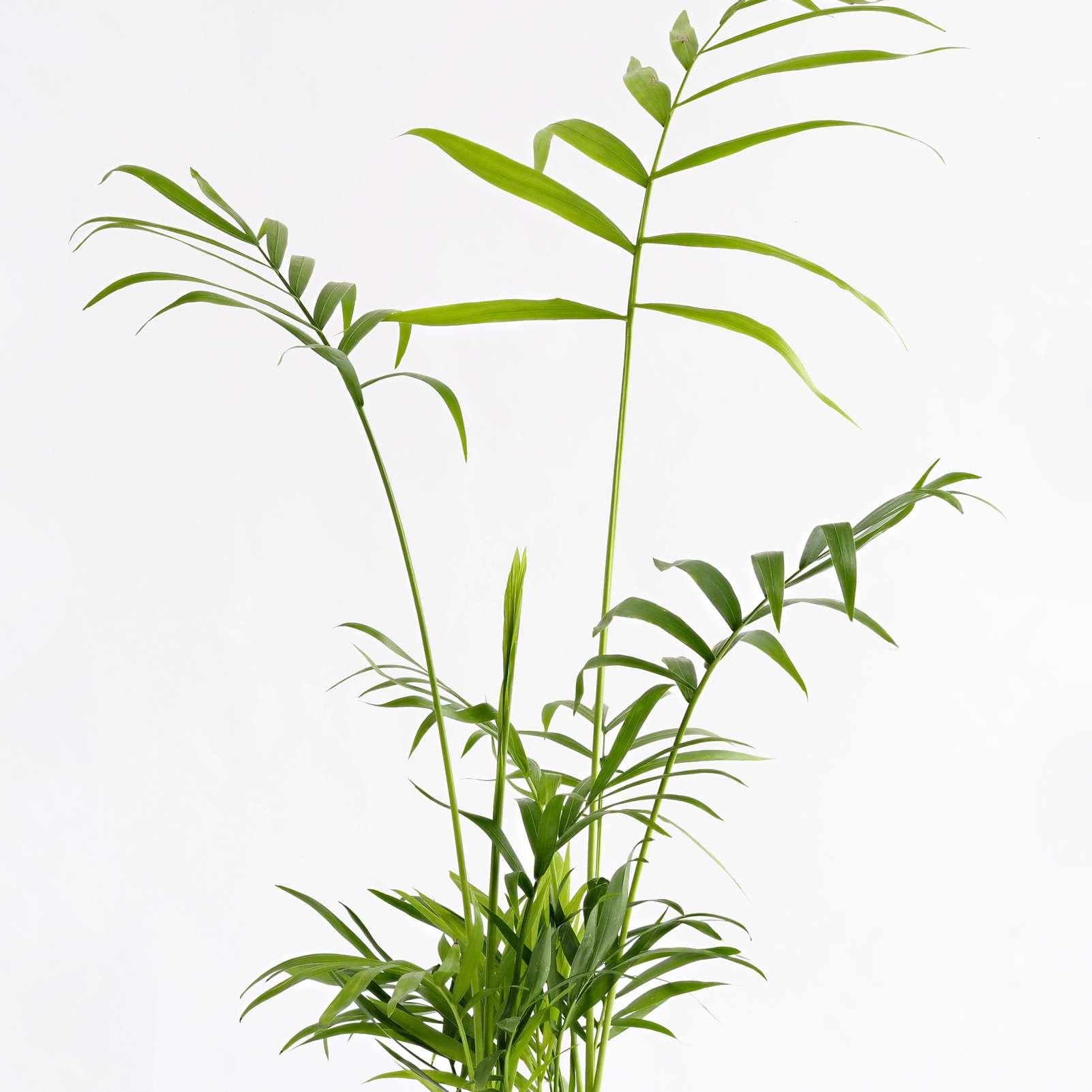 Areca palm leaves on white background.