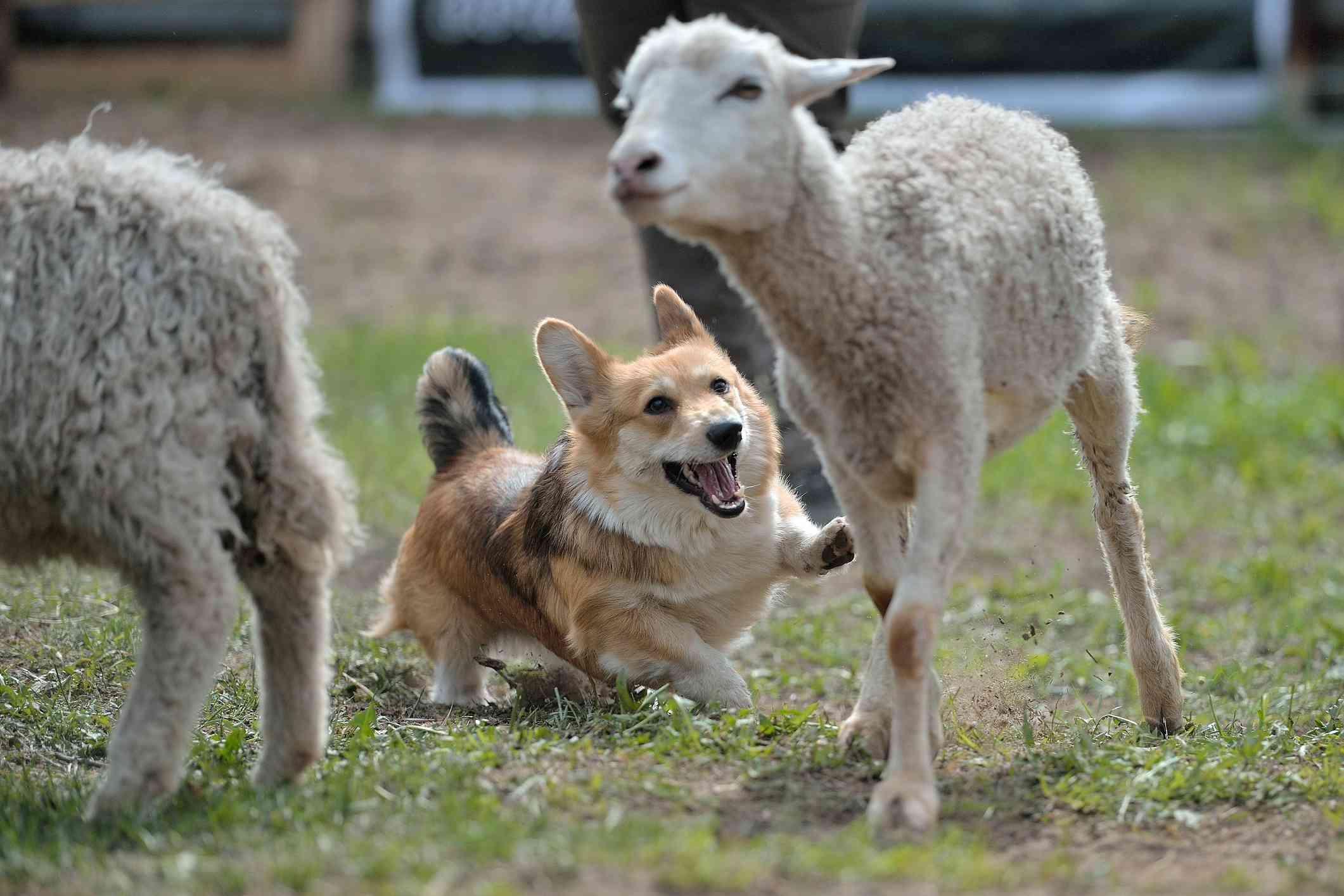 Pembroke Welsh Corgi pastoreando ovejas