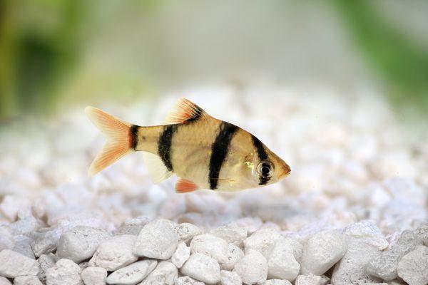 Tiger barb or Sumatra barb Puntius tetrazona tropical aquarium fish