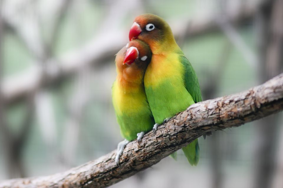 Afbeeldingsresultaat voor love birds