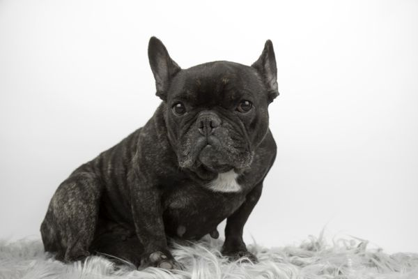 french bulldog scooting on carpet