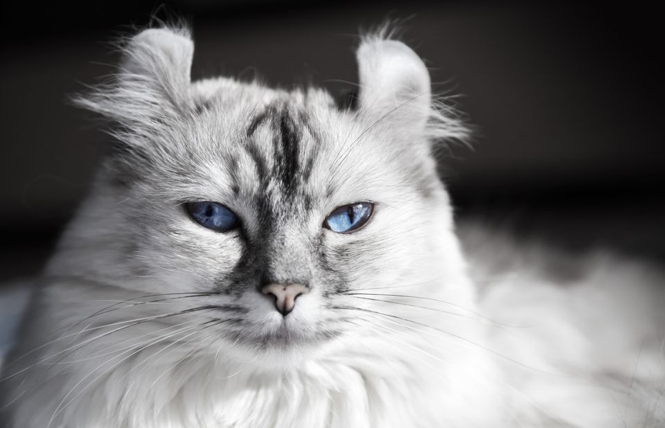 A close-up of a white American Curl cat