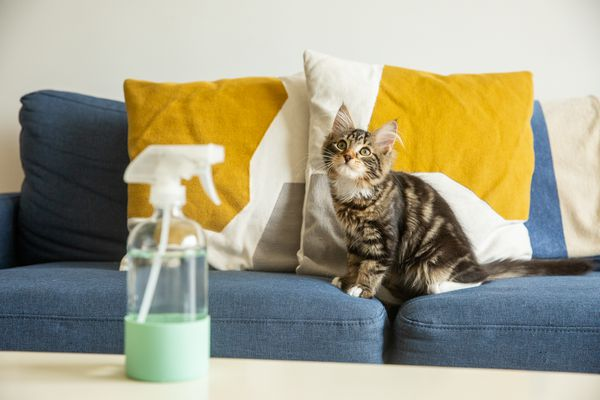 Brown and white kitten sitting on blue couch with yellow and white throw pillows behind spray bottle