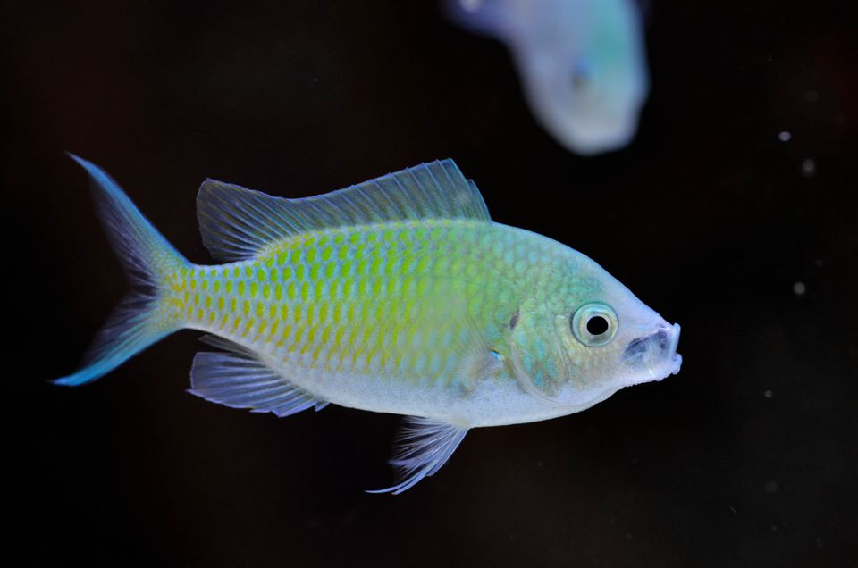 Blue Green Chromis fish