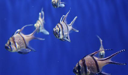 A school of angelfish