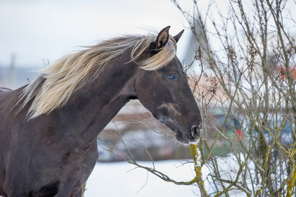 Rocky Mountain Horse in a pasture during winter