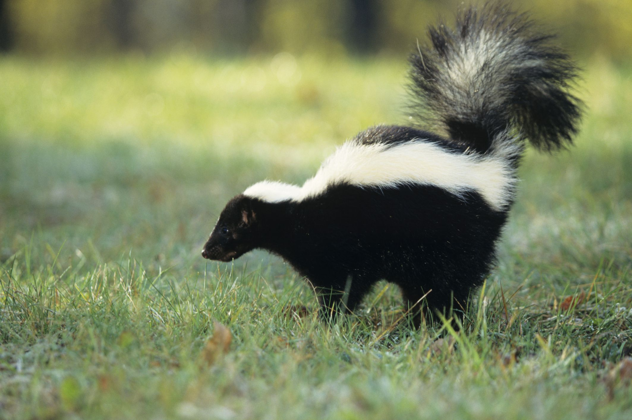 How To Get Skunk Off Your Dog