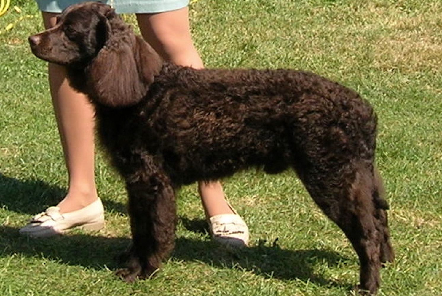 American Water Spaniel: Dog Breed Profile