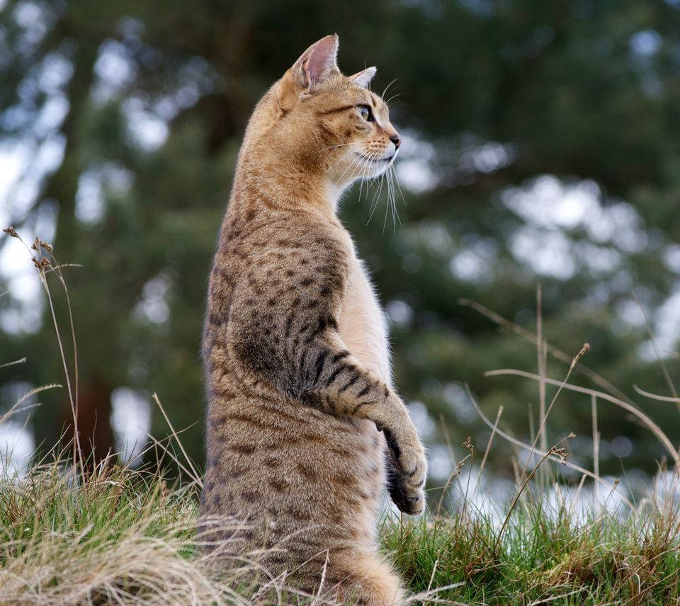 Cat impersonating Meerkat