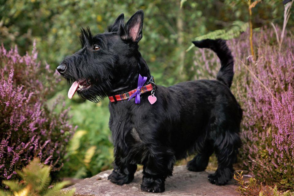 Terrier escocés negro