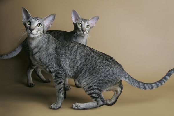 Two oriental shorthair cats portrait