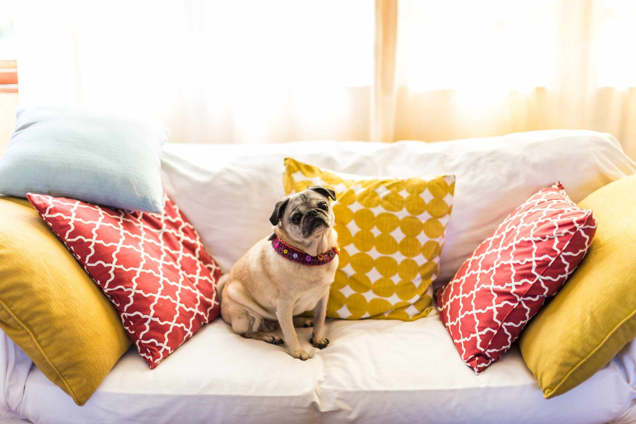 A pug sitting on a couch with red and yellow pillows.