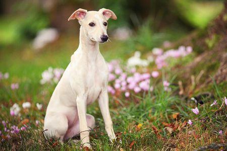 Whippet Dog Breed Profile
