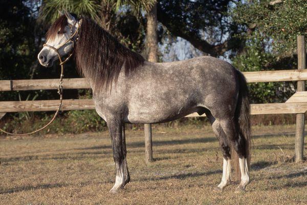 Peruvian Paso Horse standing in a headcollar