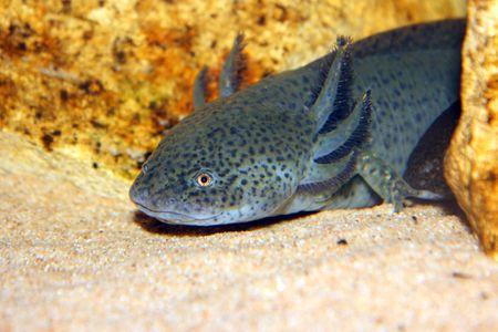 Keeping and Caring for Axolotls as Pets
