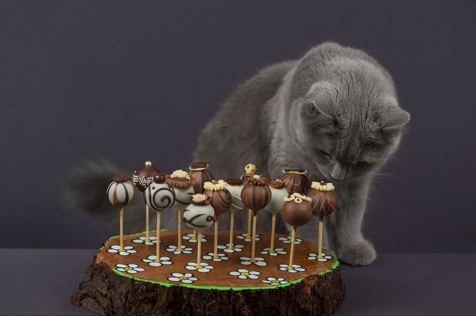 Cat sniffing chocolate