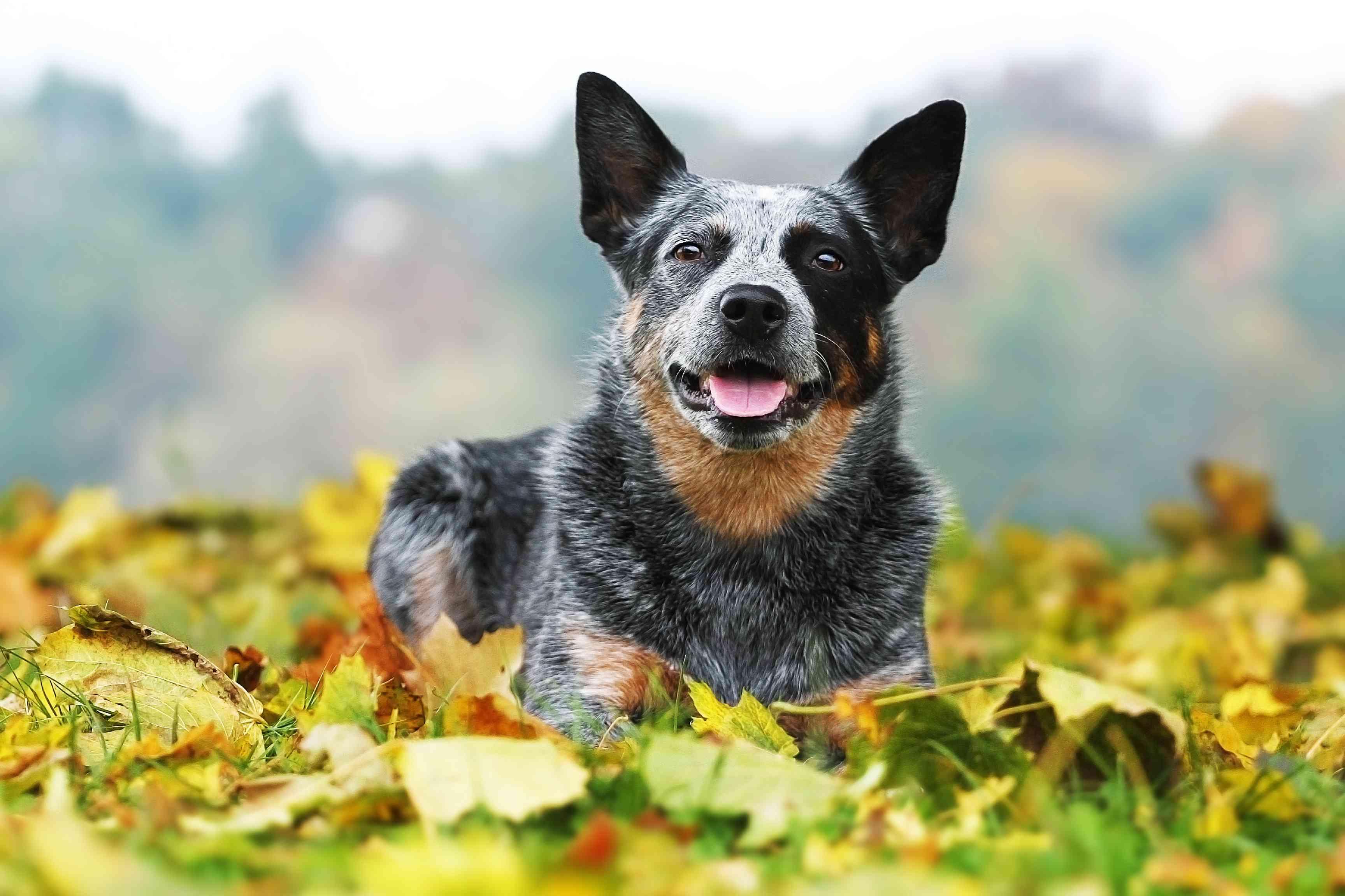 Australian Cattle Dog lying in autumn leaves