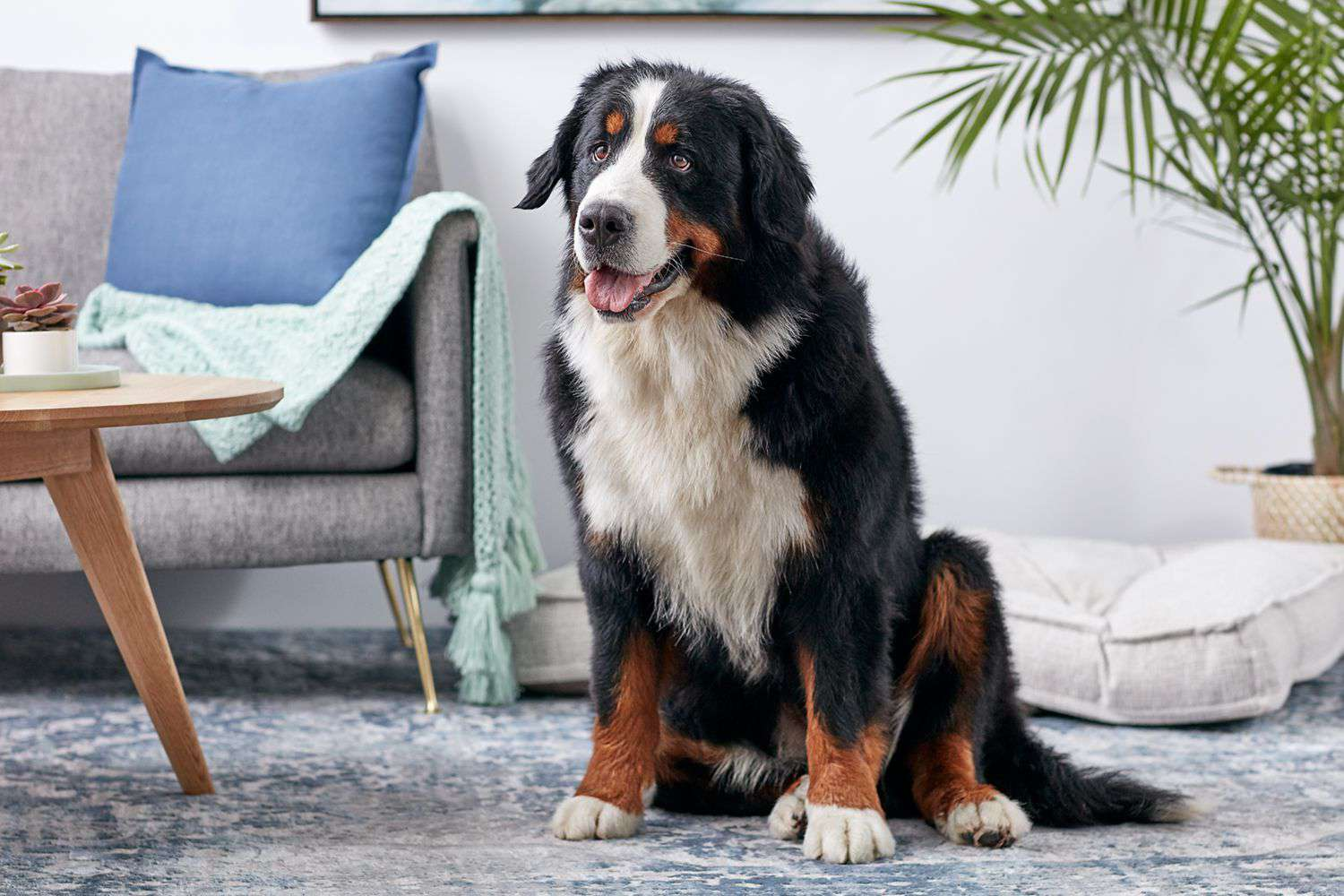 Bernese mountain dog sitting on rug in living room