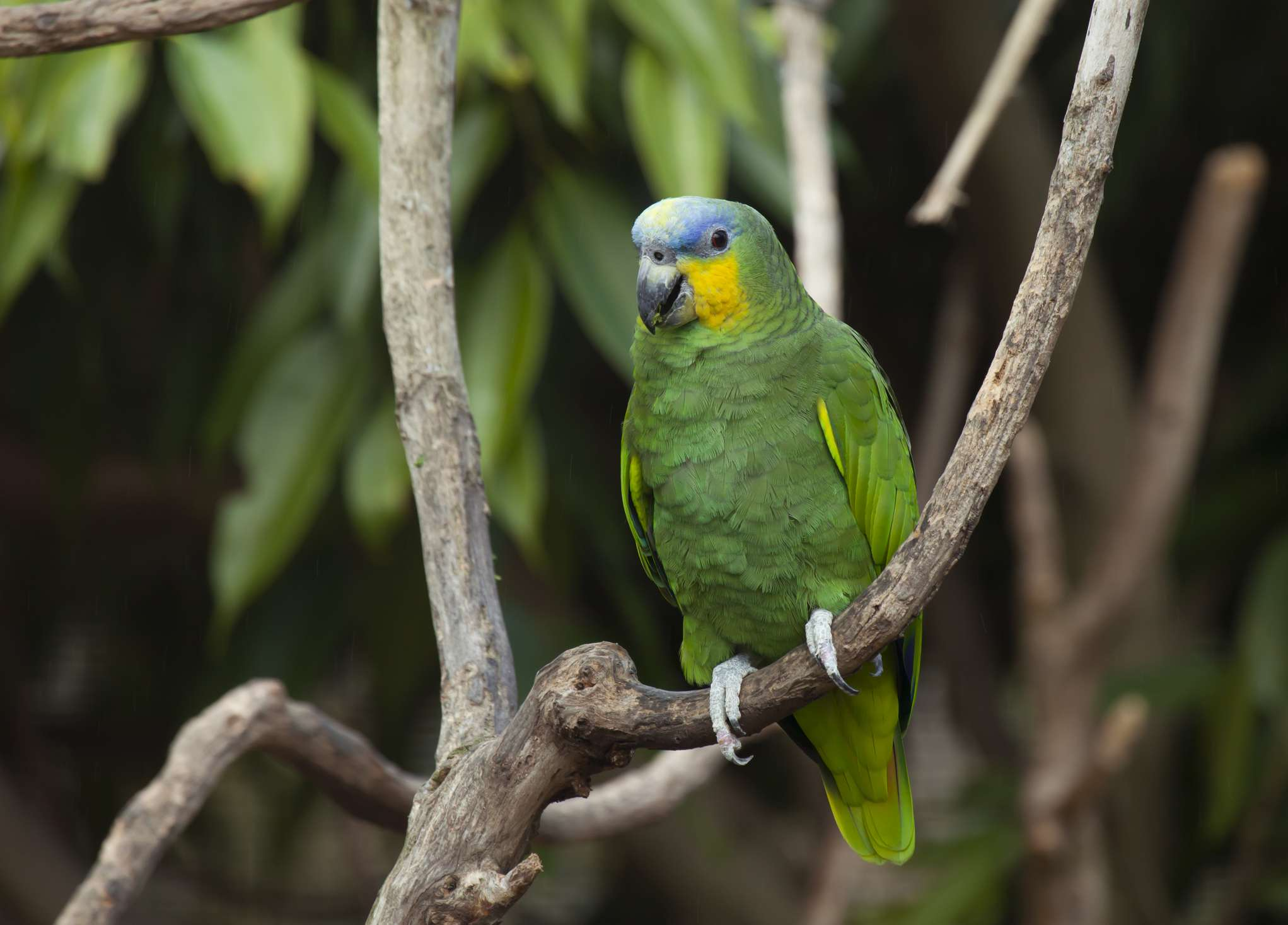 Amazon parrot talking parrot birds by thevetscare.com