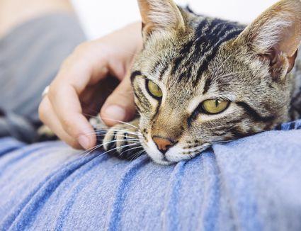 Cat lying on owner
