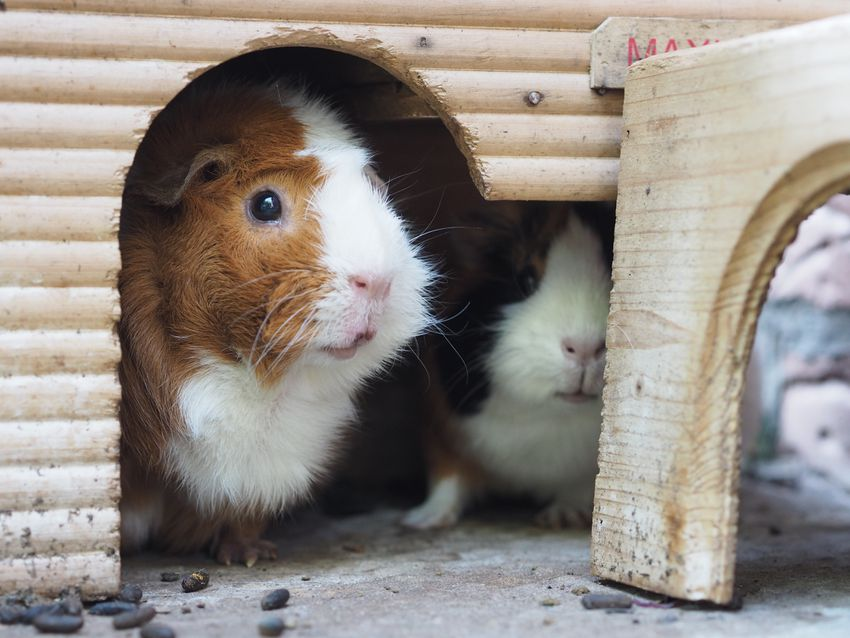 Close-Up Of Guinea Pigs In Pet House