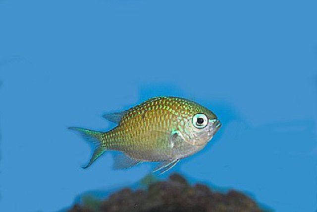 Blue/Green Reef Chromis
