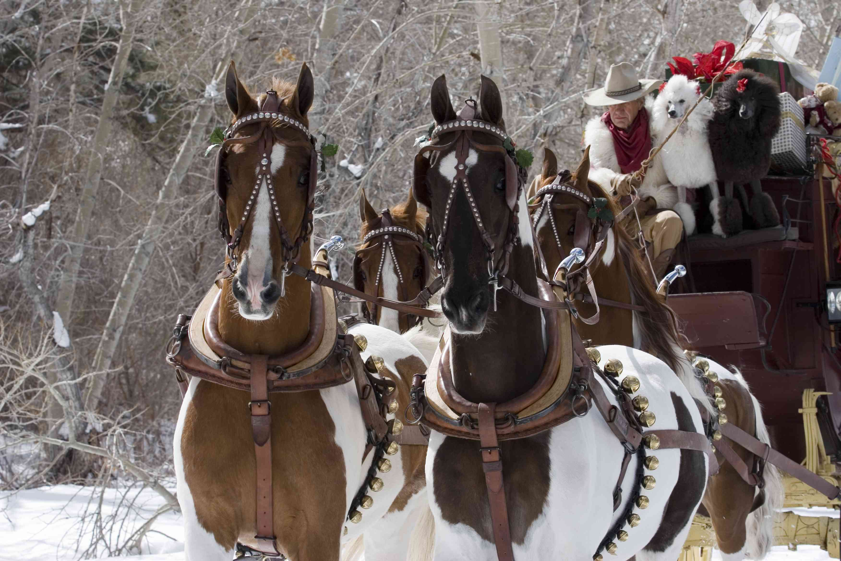 Four pinto Saddlebred pulling a sleigh in the snow.
