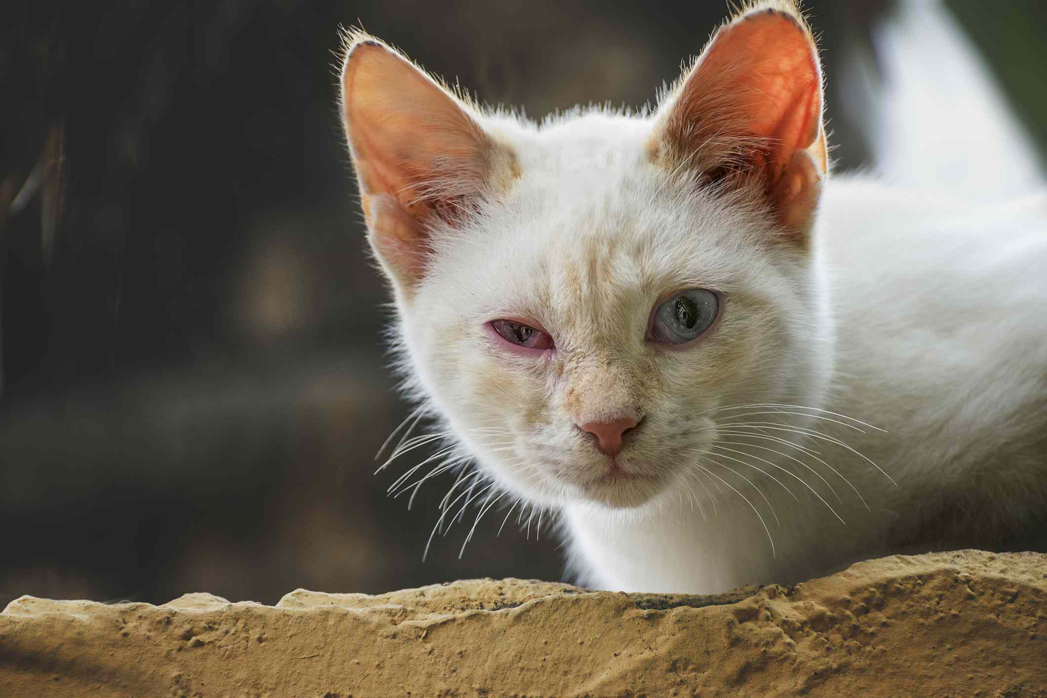 White cat with conjunctivitis squinting.