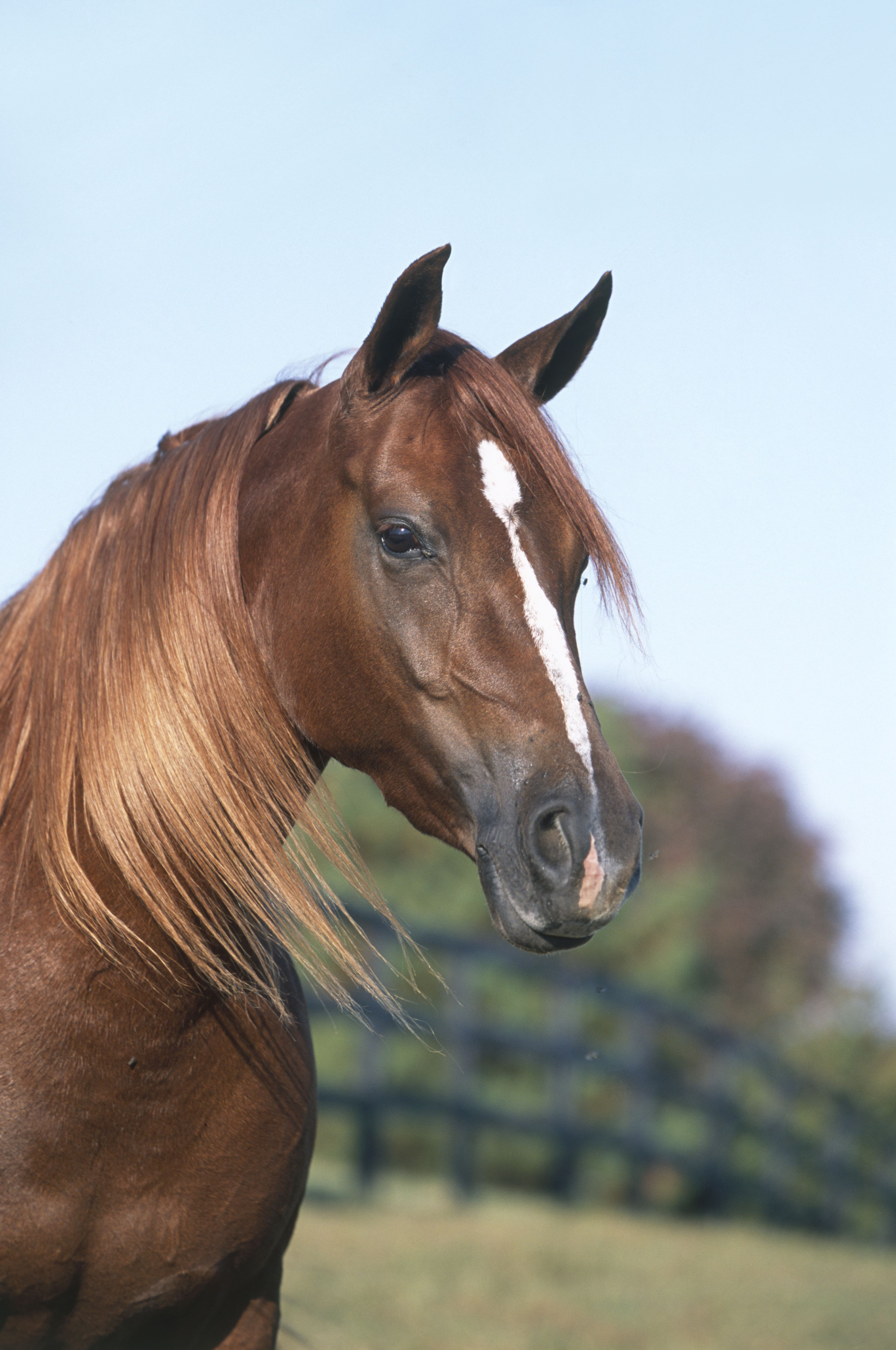 Head of chestnut Morab horse showing Arabian characteristics, white blaze and long, flowing mane