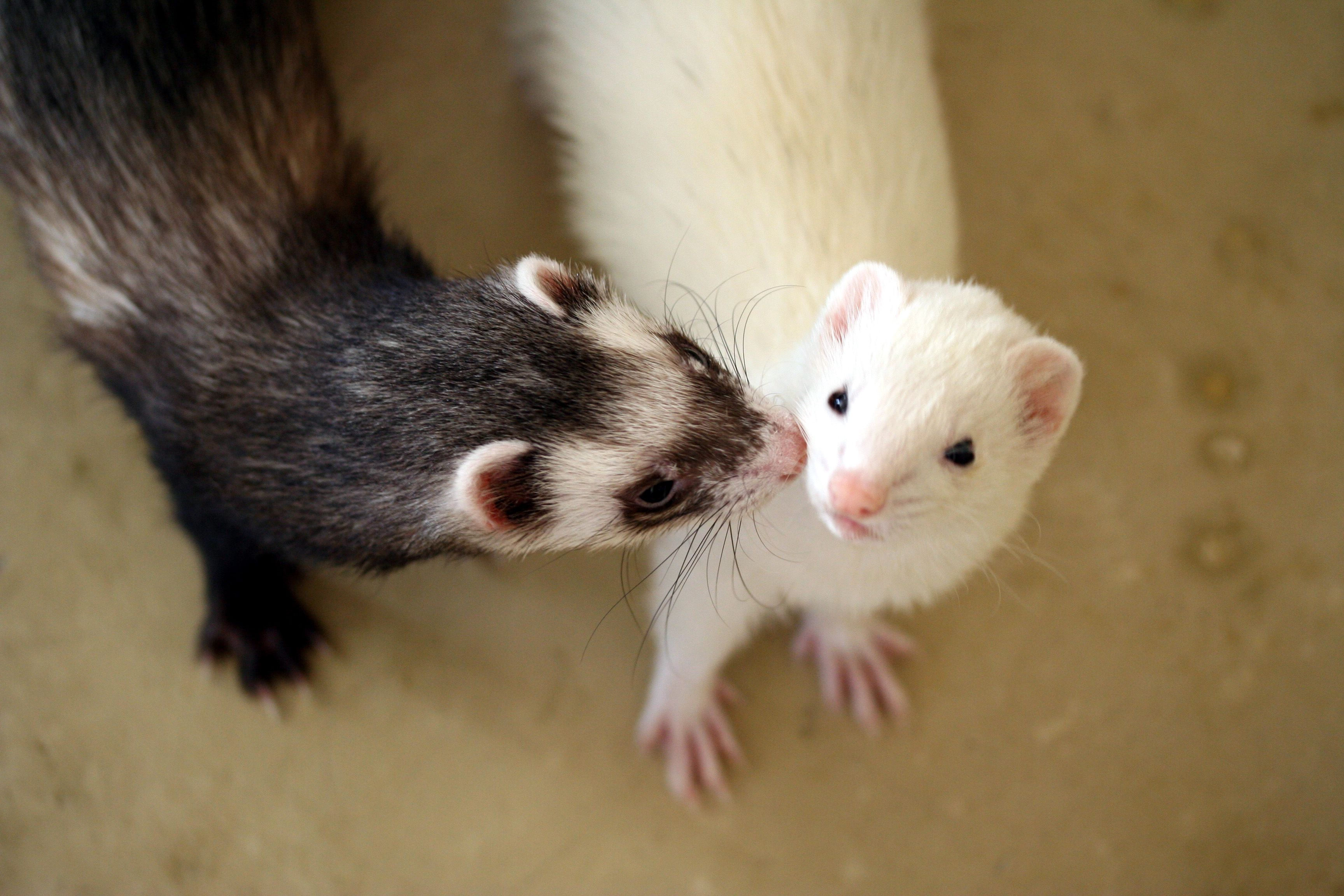 The Different Types Of Domesticated Pet Ferrets