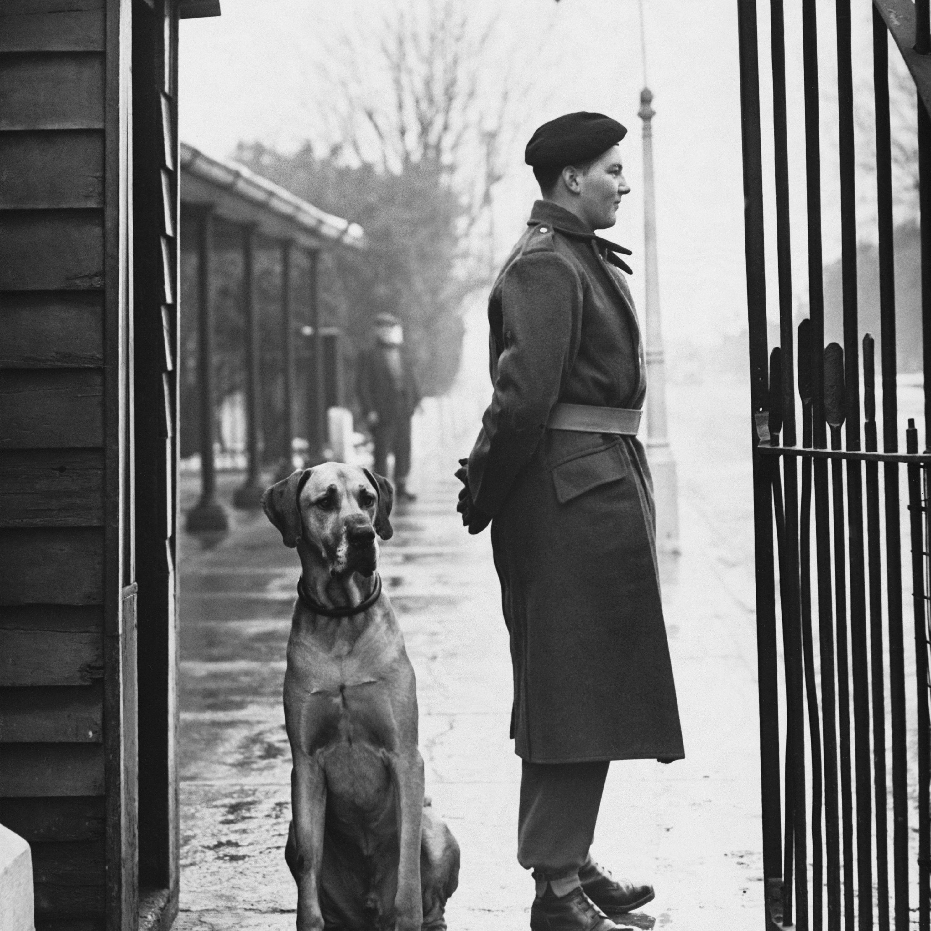 Great dane on guard duty