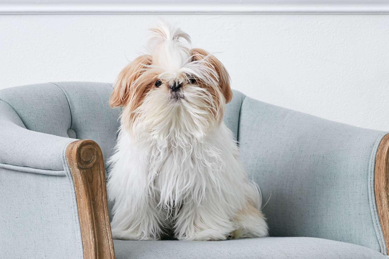 Un cachorro Shih Tzu en una silla azul