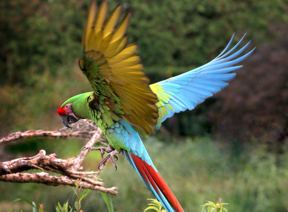 Military Macaw Landing
