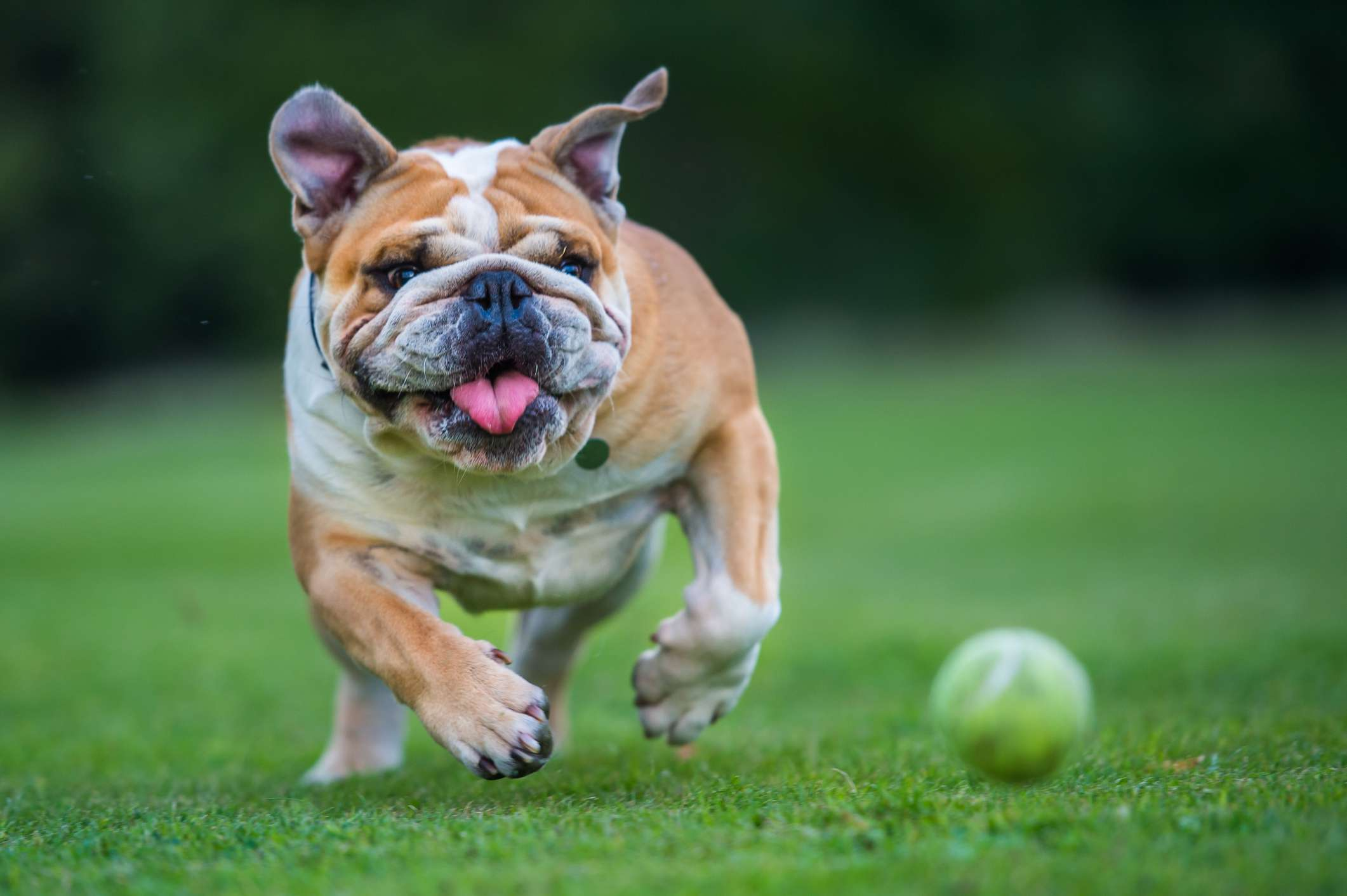 Bulldog running for a ball on grass