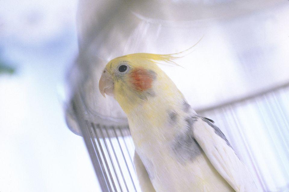 Pet Cockatiel