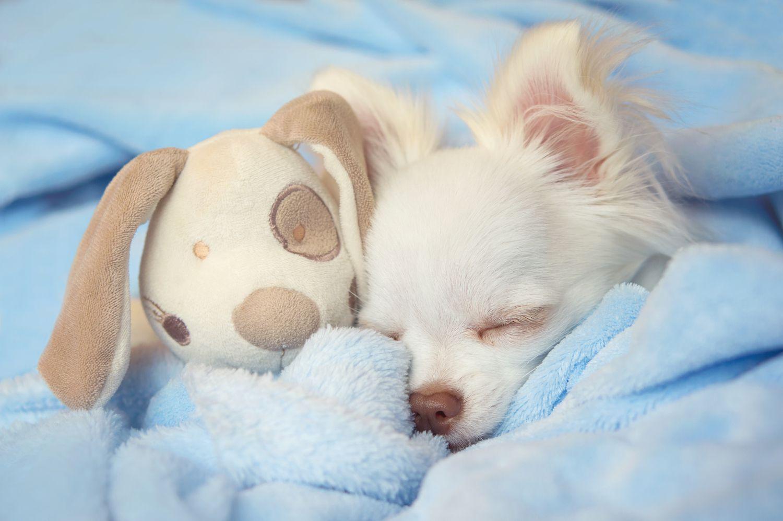 Chihuahua puppy sleeping