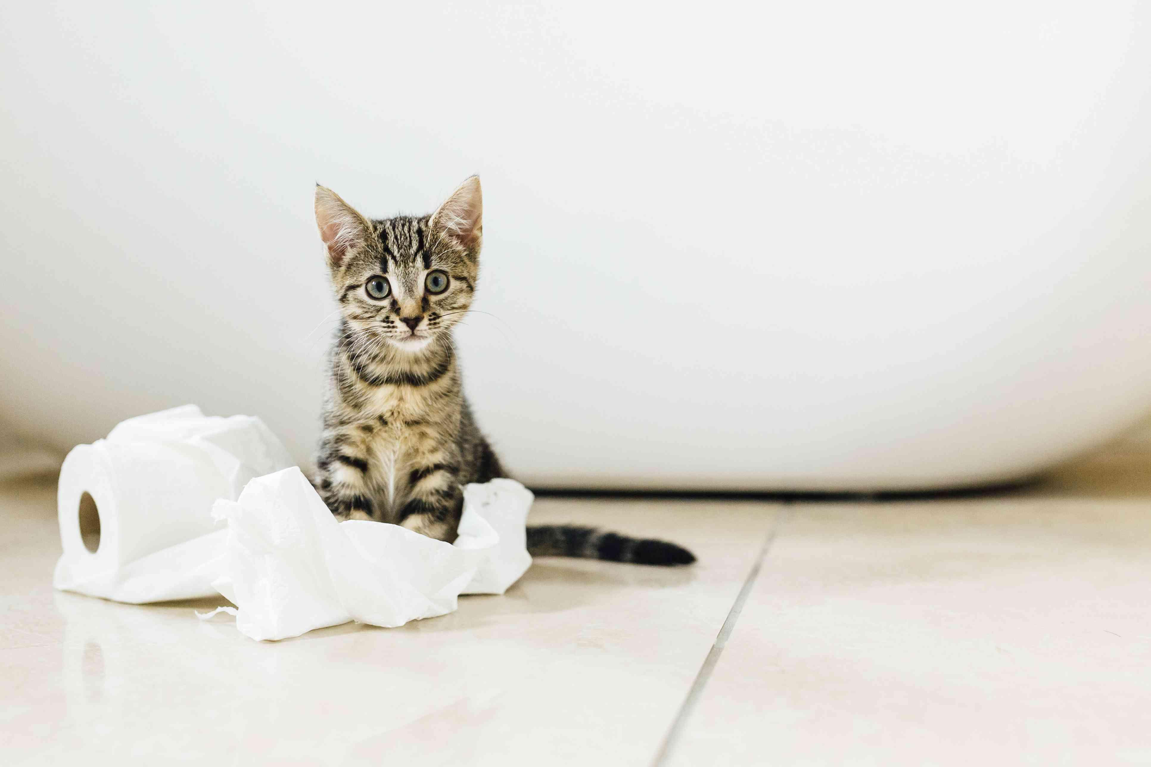 Ocho semanas de edad gatito carey jugando con papel higiénico