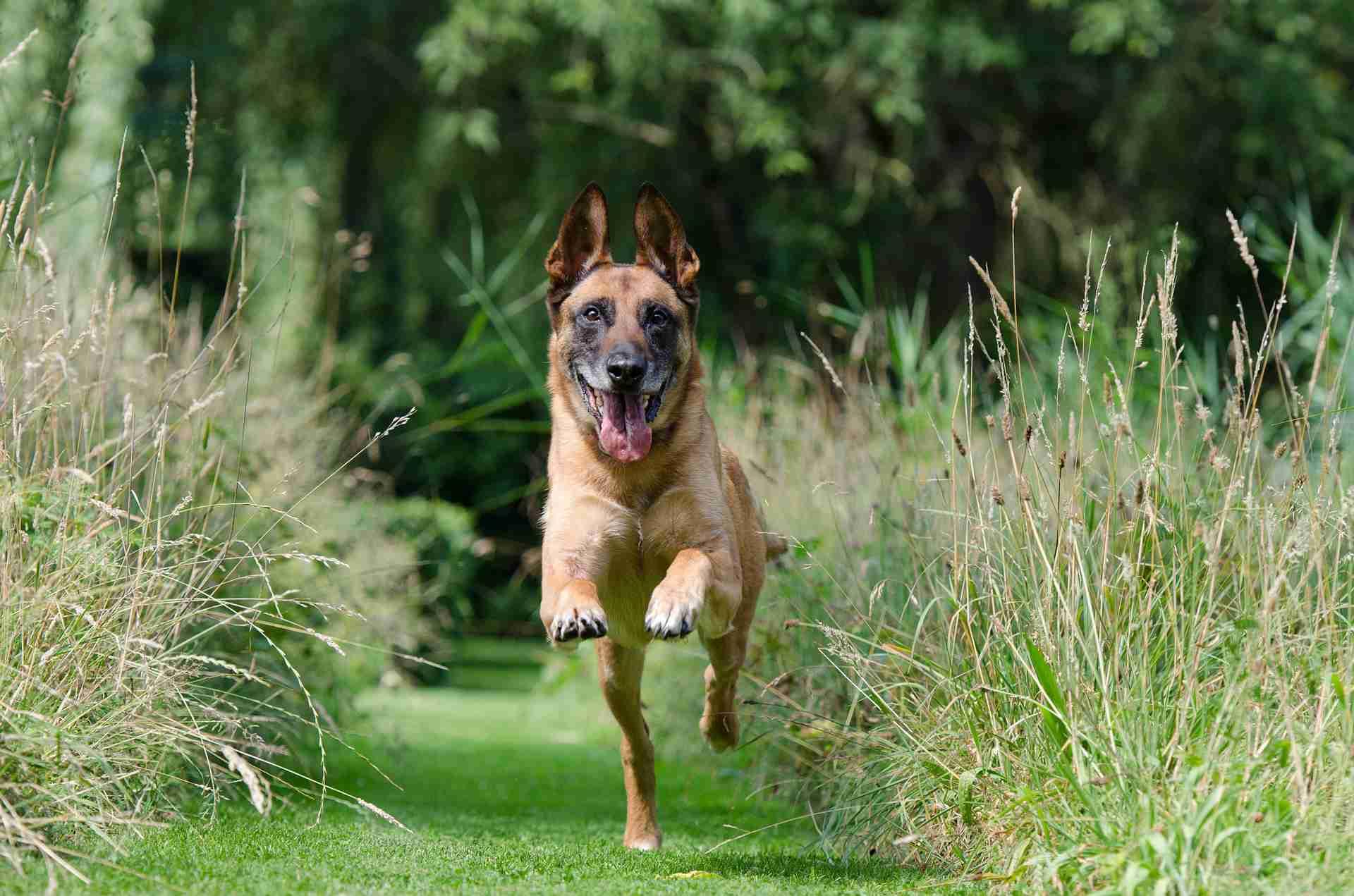 Dog running across the green
