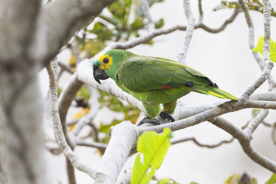 Turquoise-fronted amazon (Amazona aestiva) perching on branch