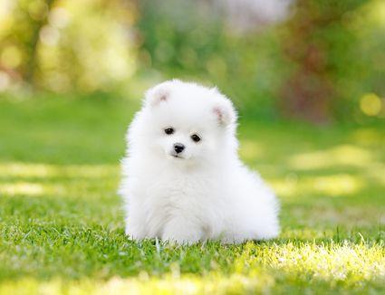 Adorable white Pomeranian puppy spitz