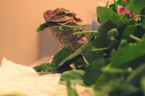 Close-up of bearded dragon feeding on leaf vegetable